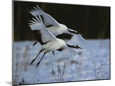 A Pair of Japanese or Red-Crowned Cranes Coming in for a Landing-Tim Laman-Mounted Photographic Print