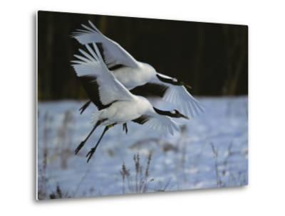 A Pair of Japanese or Red-Crowned Cranes Coming in for a Landing-Tim Laman-Metal Print