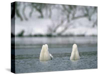 A Pair of Trumpeter Swans Submerged in Water-Klaus Nigge-Stretched Canvas Print