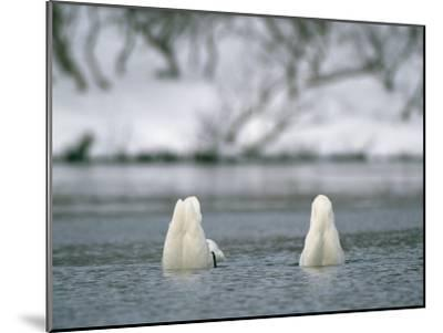 A Pair of Trumpeter Swans Submerged in Water-Klaus Nigge-Mounted Photographic Print