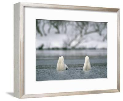 A Pair of Trumpeter Swans Submerged in Water-Klaus Nigge-Framed Photographic Print