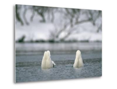 A Pair of Trumpeter Swans Submerged in Water-Klaus Nigge-Metal Print
