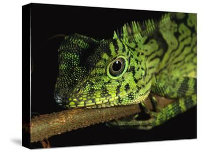 A Close View of the Head of a Lizard Lying Along a Branch-Tim Laman-Stretched Canvas Print