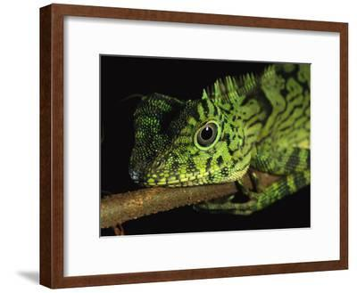 A Close View of the Head of a Lizard Lying Along a Branch-Tim Laman-Framed Photographic Print