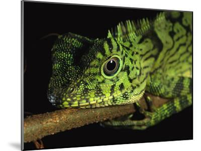 A Close View of the Head of a Lizard Lying Along a Branch-Tim Laman-Mounted Photographic Print