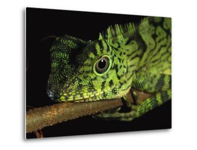 A Close View of the Head of a Lizard Lying Along a Branch-Tim Laman-Metal Print