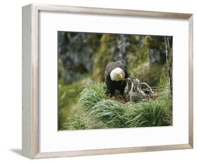 An American Bald Eagle Feeds its Young-Klaus Nigge-Framed Photographic Print