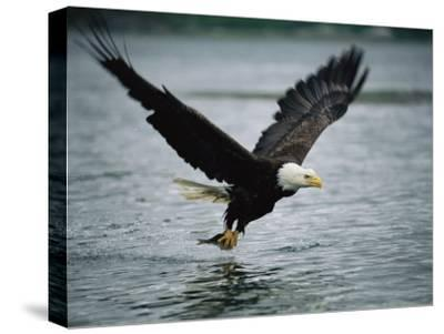 An American Bald Eagle Grabs a Fish in its Talons-Klaus Nigge-Stretched Canvas Print