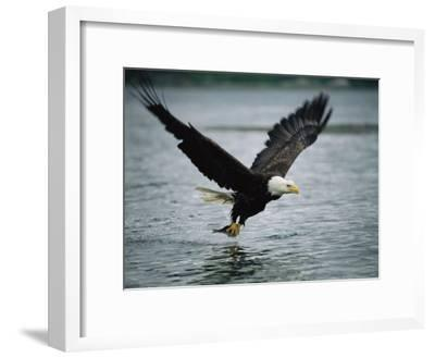 An American Bald Eagle Grabs a Fish in its Talons-Klaus Nigge-Framed Photographic Print