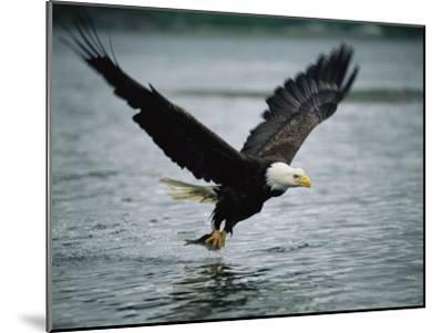An American Bald Eagle Grabs a Fish in its Talons-Klaus Nigge-Mounted Photographic Print