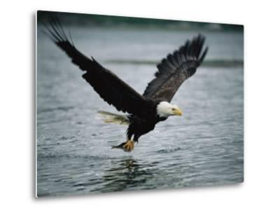 An American Bald Eagle Grabs a Fish in its Talons-Klaus Nigge-Metal Print