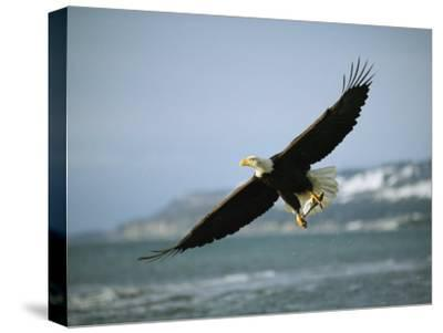 An American Bald Eagle in Flight over Water with a Fish in its Talons-Klaus Nigge-Stretched Canvas Print