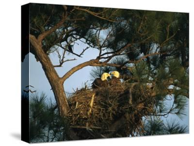 Pair of American Bald Eagles Sitting in Their Nest in a Pine Tree-Klaus Nigge-Stretched Canvas Print