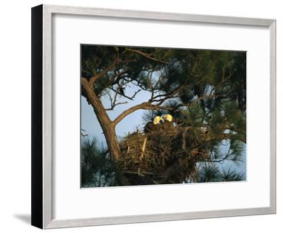Pair of American Bald Eagles Sitting in Their Nest in a Pine Tree-Klaus Nigge-Framed Photographic Print