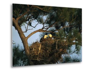 Pair of American Bald Eagles Sitting in Their Nest in a Pine Tree-Klaus Nigge-Metal Print