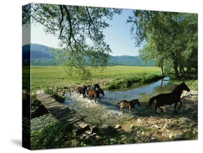 Wild Horses Cross a Stream on a High Plain Surrounded by Mountains-O^ Louis Mazzatenta-Stretched Canvas Print