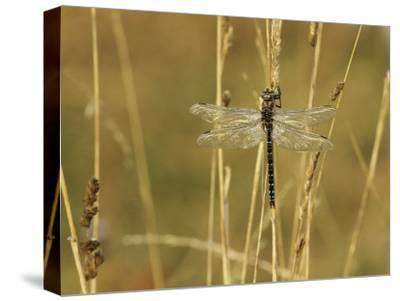 Dragonfly Perched on a Blade of Tan Grass-Klaus Nigge-Stretched Canvas Print