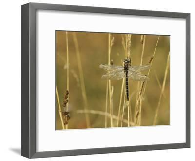 Dragonfly Perched on a Blade of Tan Grass-Klaus Nigge-Framed Photographic Print