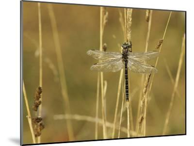 Dragonfly Perched on a Blade of Tan Grass-Klaus Nigge-Mounted Photographic Print