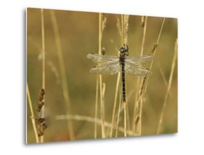 Dragonfly Perched on a Blade of Tan Grass-Klaus Nigge-Metal Print