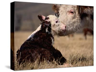 Hereford Cow with Calf-Sam Abell-Stretched Canvas Print