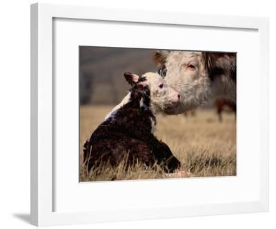 Hereford Cow with Calf-Sam Abell-Framed Photographic Print