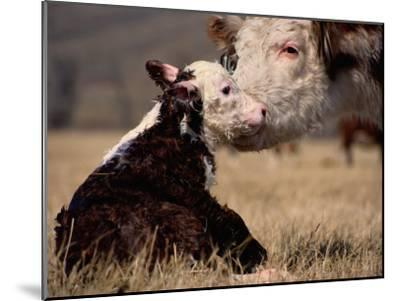 Hereford Cow with Calf-Sam Abell-Mounted Photographic Print
