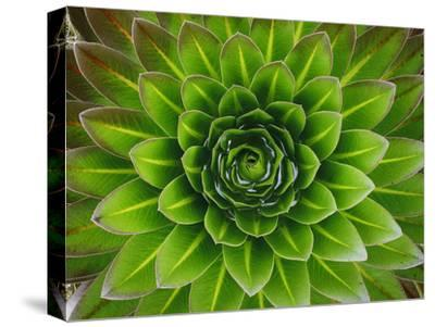 A Giant Lobelia Plant-George F^ Mobley-Stretched Canvas Print