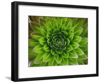 A Giant Lobelia Plant-George F^ Mobley-Framed Photographic Print