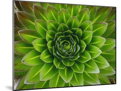 A Giant Lobelia Plant-George F^ Mobley-Mounted Photographic Print