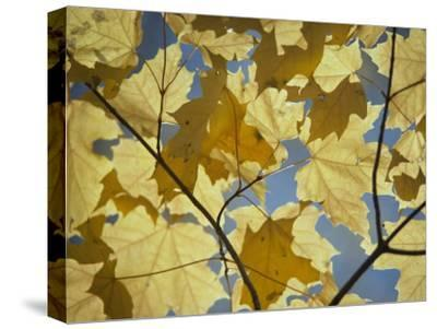 Sugar Maple Leaves-David Boyer-Stretched Canvas Print
