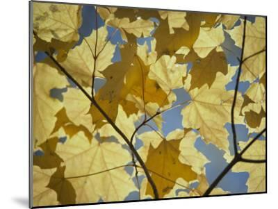 Sugar Maple Leaves-David Boyer-Mounted Photographic Print