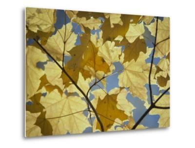 Sugar Maple Leaves-David Boyer-Metal Print