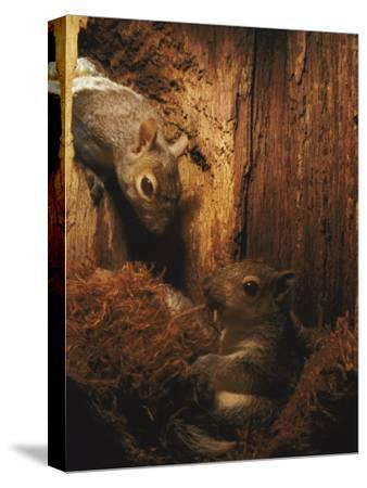 A Baby Eastern Gray Squirrel in its Nest-Chris Johns-Stretched Canvas Print