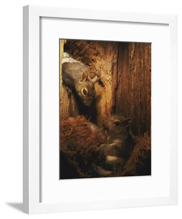 A Baby Eastern Gray Squirrel in its Nest-Chris Johns-Framed Photographic Print