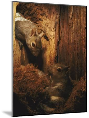A Baby Eastern Gray Squirrel in its Nest-Chris Johns-Mounted Photographic Print