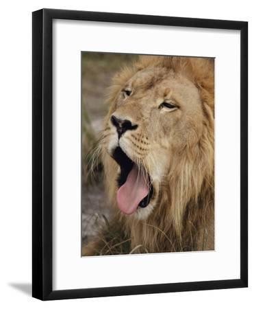 Male African Lion with its Mouth Wide Open-Joseph H^ Bailey-Framed Photographic Print