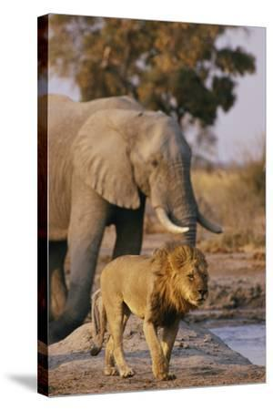 African Elephant and Lion at a Water Hole in Chobe National Park-Beverly Joubert-Stretched Canvas Print