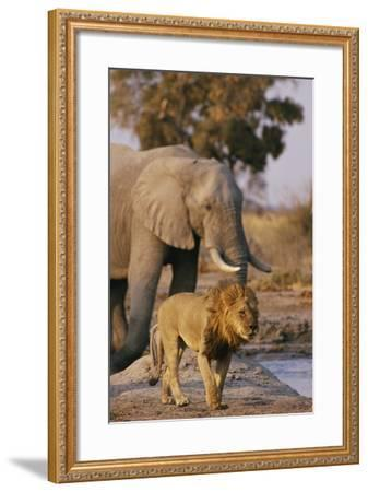 African Elephant and Lion at a Water Hole in Chobe National Park-Beverly Joubert-Framed Photographic Print