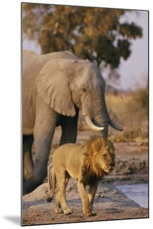 African Elephant and Lion at a Water Hole in Chobe National Park-Beverly Joubert-Mounted Photographic Print