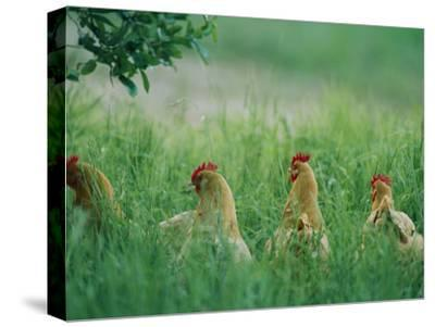 Four Buff Orpington Hens in Tall Grass-Joel Sartore-Stretched Canvas Print