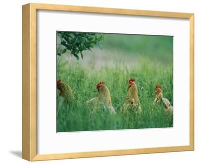 Four Buff Orpington Hens in Tall Grass-Joel Sartore-Framed Photographic Print