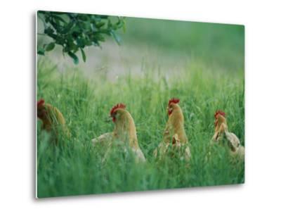 Four Buff Orpington Hens in Tall Grass-Joel Sartore-Metal Print