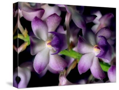 Wild Orchids-Tim Laman-Stretched Canvas Print