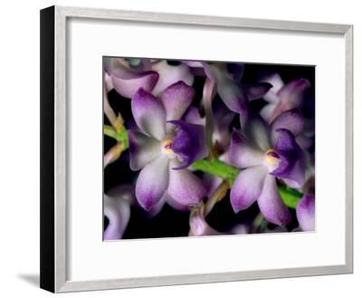 Wild Orchids-Tim Laman-Framed Photographic Print