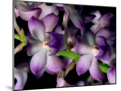 Wild Orchids-Tim Laman-Mounted Photographic Print