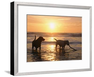Labrador Retrievers Play in the Water at Sunset-Roy Toft-Framed Photographic Print