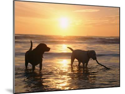 Labrador Retrievers Play in the Water at Sunset-Roy Toft-Mounted Photographic Print