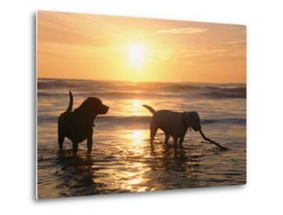 Labrador Retrievers Play in the Water at Sunset-Roy Toft-Metal Print