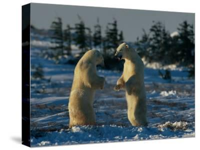 A Pair of Polar Bears (Ursus Maritimus) Stand on Their Hind Legs Prepared to Wrestle One Another-Norbert Rosing-Stretched Canvas Print